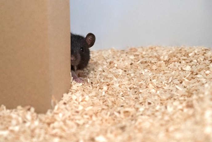 Un rat dissimulé derrière un carton lors d'une partie de cache-cache au laboratoire.