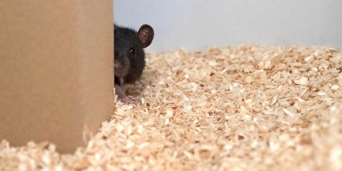 Des rats jouent à cache-cache avec des scientifiques