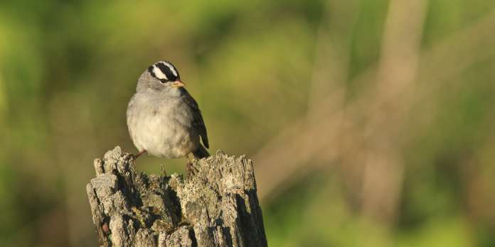 Un néonicotinoïde a des effets délétères sur les oiseaux migrateurs