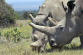 Des scientifiques obtiennent deux embryons d'une espèce de rhinocéros éteinte dans la nature