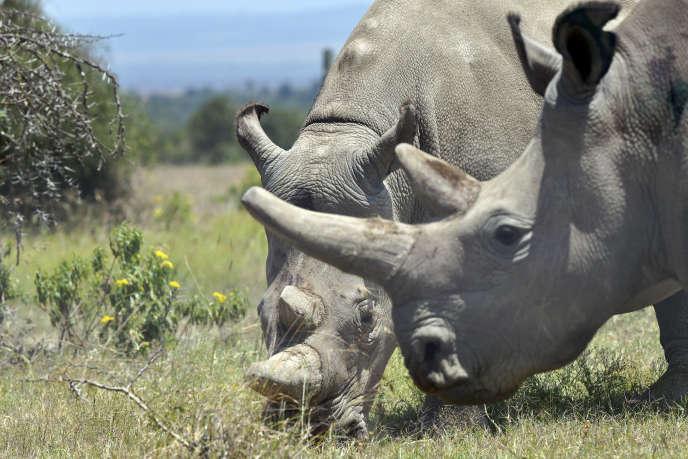 Les femelles Fatu, 19 ans, et sa mère Najin, 30 ans, sont les deux derniers spécimens de rhinocéros blanc du Nord. Elles sont protégées dans la réserve d'Ol Pejeta, au Kenya.