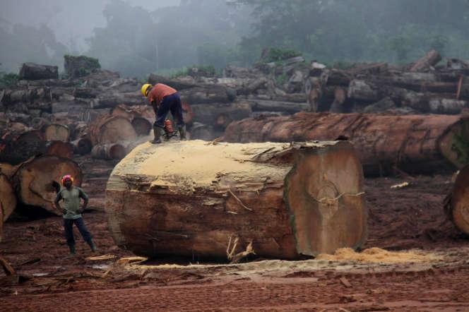 Des ouvriers de la Sefca s'affairent sur une grume d'ayous, à Mambélé, en septembre 2019.