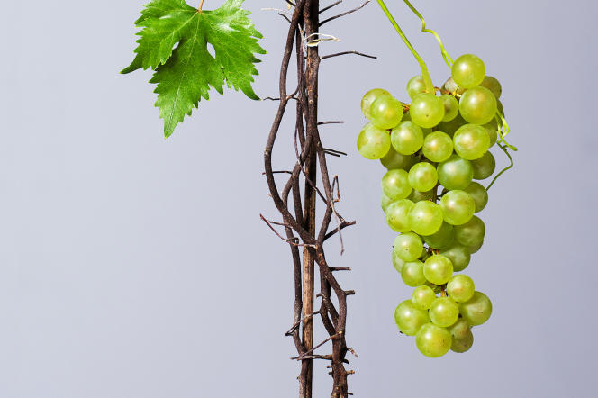 Plantée dans des pots, la vigne survivra.