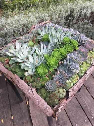 Des succulentes servies... sur un plateau.
