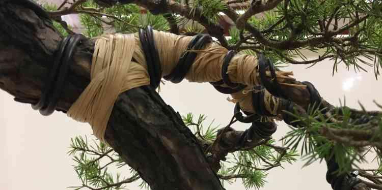 Ce gros plan montre la technique de ligature employée pour donner aux branches leur forme tordue et spectaculaire.