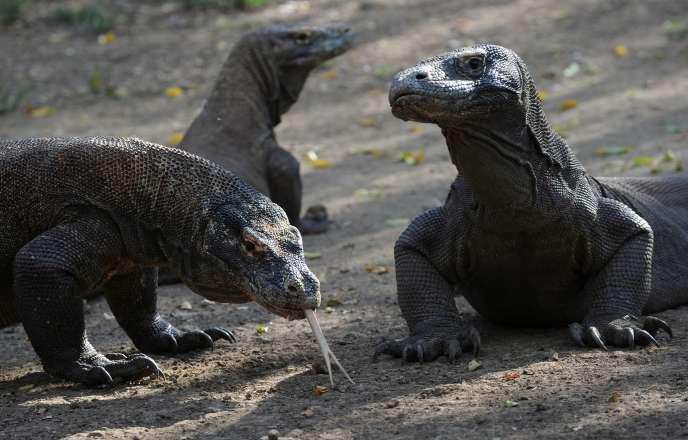Quelque 2900varans vivent sur l'île indonésienne de Komodo.