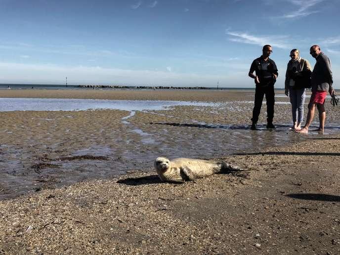 Echoué sur une plage près de Dunkerque (Nord), ce bébé phoque a été mortellement blessé par un pêcheur, le 15septembre.
