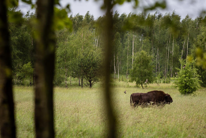 Un bison dans la forêt primaire de Bialowieza (Pologne), le 31 mai 2016.