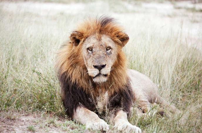 Un lion dans le parc national Kruger, au nord-est de l'Afrique du Sud, en avril 2019.