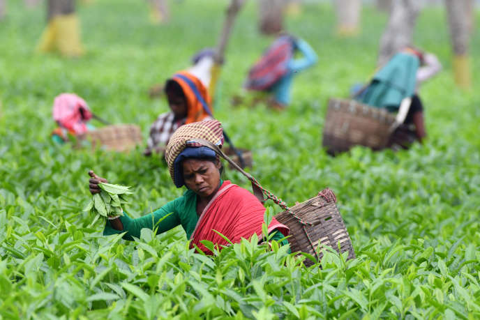 Une plantation de thé, à Gohpur, en Inde, en mars.
