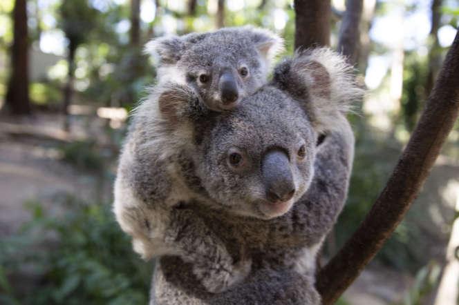 Un rétrovirus se répand dans la population des koalas, qui se transmet par contact entre individus mais aussi entre générations.