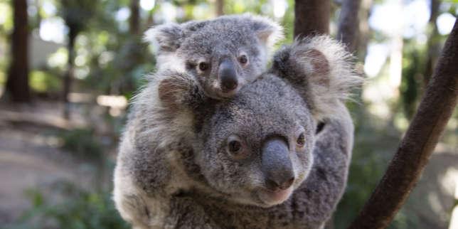 https://www.lemonde.fr/sciences/article/2019/10/13/le-koala-modele-viral-malgre-lui_6015349_1650684.html