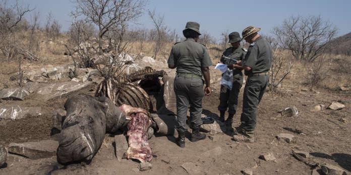 Au Botswana, un chiffre record de rhinocéros braconnés cette année