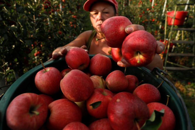 Ramassage de pommes à Rembertow, en Pologne, le 4 septembre 2018.