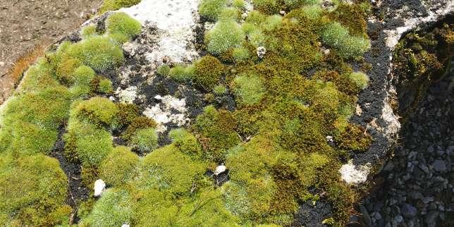 Sous la loupe de l'Institut du jardin et du paysage de Bretagne... les mousses