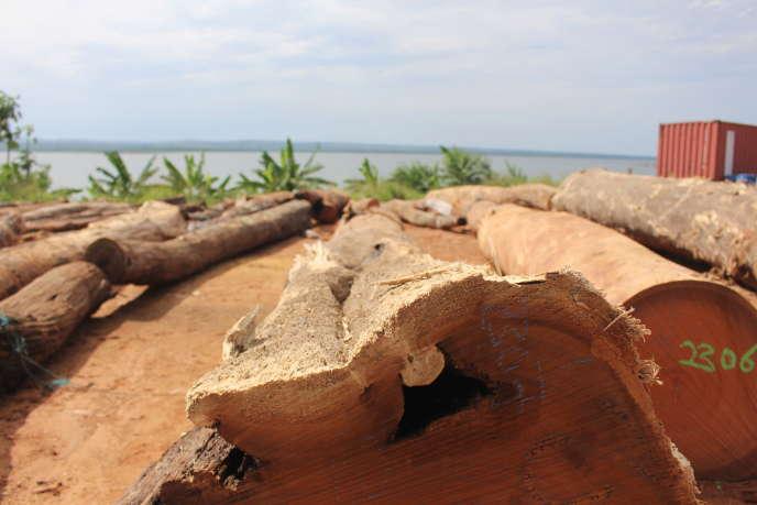 Sorties du lac Volta, des grumes d'irokos, arbre proche du chêne sur le site de la scierieKKTR, à Sedorm, près du barrage d'Akosombo, au Ghana, le 14 octobre 2019.