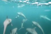 En Guyane, baleines et dauphins sont menacés par l'exploitation pétrolière.
