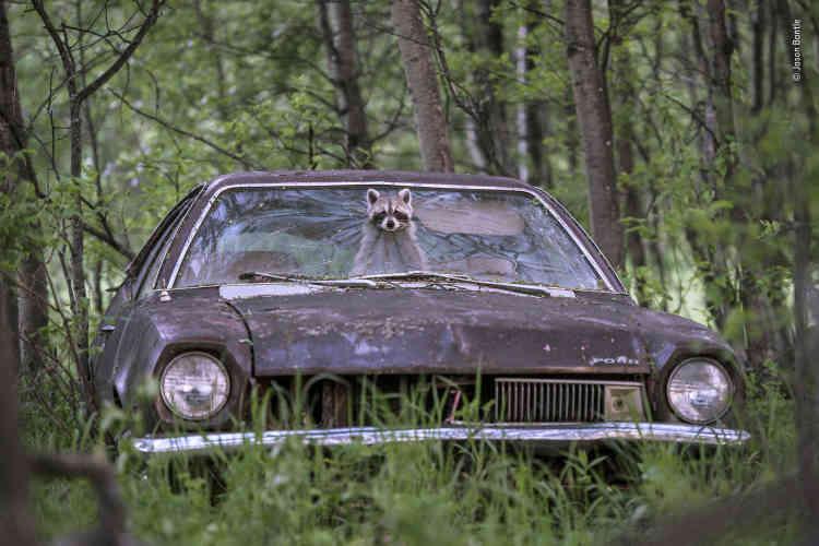 Dans une ferme abandonnée du Saskatchewan, au Canada, un raton-laveur opportuniste pointe son museau masqué à travers une Ford Pinto des années 70. Sur le siège arrière, ses cinq rejetons bruissent d'excitation. Un sentiment partagé par Jason Bantle, caché dans son affut. Il attendait ce moment chaque été depuis plusieurs années.