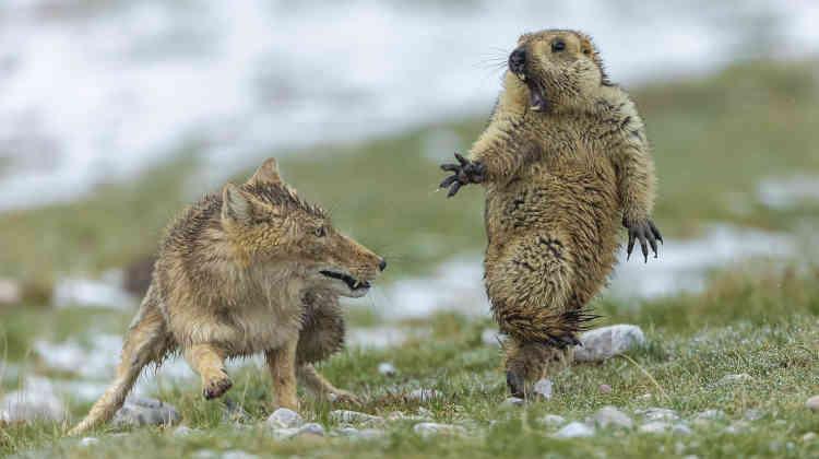 C'était le début du printemps sur les prairies du plateau tibétain du Qinghai et la neige commençait à fondre. Cette femelle de renard du Tibet avait trois renardeaux à nourrir. Au lever du jour, elle s'était dissimulée près d'une colonie de marmottes de l'Himalaya. Cette jeune marmotte avait surgi de son terrier à côté d'elle. La découvrant, elle poussa un cri d'alarme avertissant toute la colonie de la présence d'un danger. Mais la renarde ne bougea pas, faisant semblant de dormir. Seul son œil était en alerte. Au bout d'une heure, la marmotte se décida à émerger totalement, semblant avoir oublié le danger. Peut-être était-elle affamée après un long hiver d'hibernation? S'éloignant du terrier, elle cherchait tête baissée des plantes nourrissantes à grignoter. Pour la renarde c'était le bon moment.