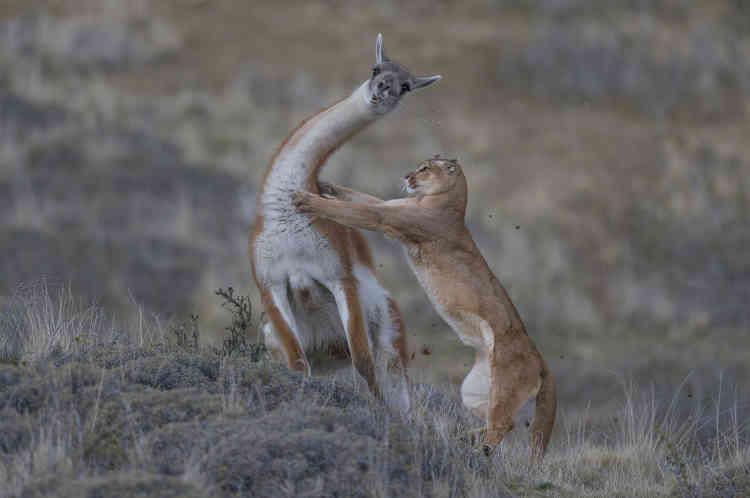 Cette image marque le point culminantde sept mois de pistage de pumas pour le photographe, en endurant les froids extrêmes et les vents mordants de la région patagonienne de Torres del Paine, au Chili. La femelle puma s'était habituée à sa présence. Elleapprocha ce grand mâle lama pendant une demi-heure. La lumière était adoucie par de fins nuages, idéale pour une prisede vue à haute vitesse. Au contact des griffes, le lama fit un écart de côté, sa dernière bouchée d'herbe restant suspendue dans le vent. Le lama ne pouvant se débarrasser de son adversaire en courant, il se laissa tomber sur le félin de tout son poids. Ce dernier lâcha sa proie.