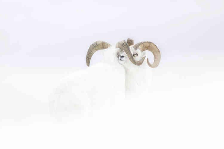 Sur une pente neigeuse du Yukon (Canada), deux mouflons de Dall dans leur fourrure hivernale affrontent un vent violent. Ces deux mâles se défient, mais les vents forts et le blizzard les ont forcés à une trêve. Couché dans la neige, le photographe devait lui aussi lutter contre les conditions météo.
