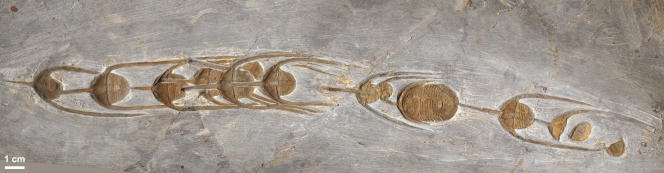 Autre association de trilobites «Ampyx» du Maroc.