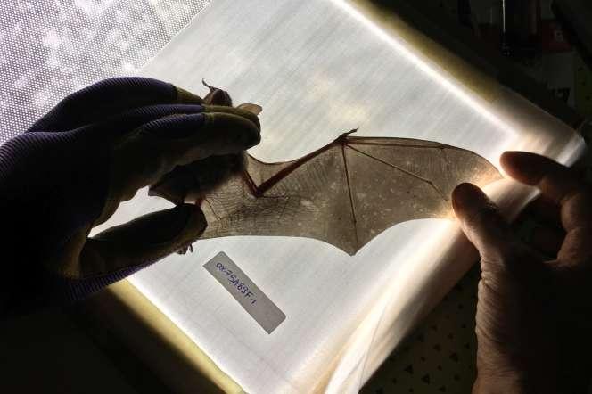 Examen à la table lumineuse des ailes de chauves-souris.