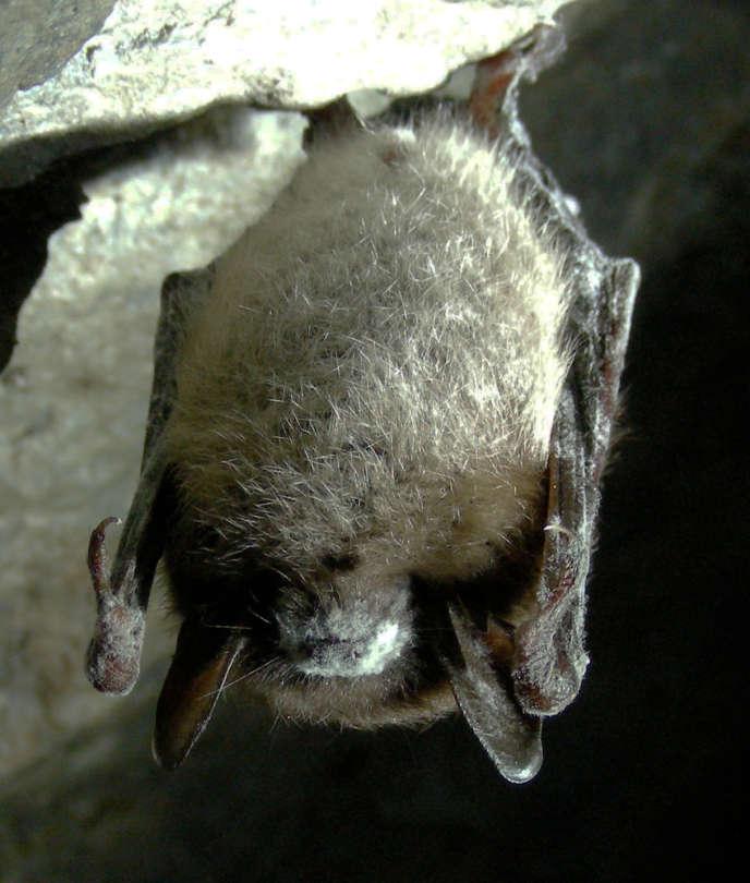 Chauve-souris brune atteinte du syndrome du museau blanc, dans le Vermont (Etats-Unis), en mars 2009.