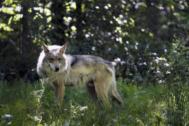 Un loup gris mexicain.