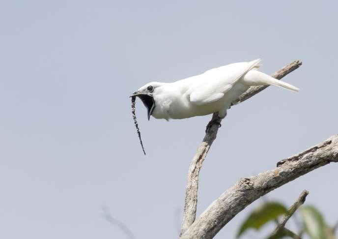 Un araponga blanc mâle lançant son cri d'appel.