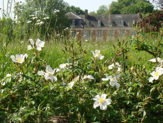 Les grandes fleurs simple de Rosa Paulii cachent presque le manoir de la Javelière.