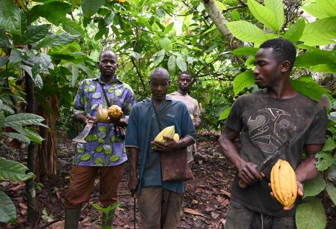 Des producteurs de cacao près de Sinfra, en Côte d'Ivoire, le 12octobre 2019.