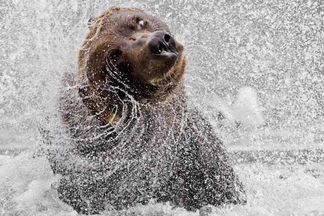 Un grizzli, en Alaska.