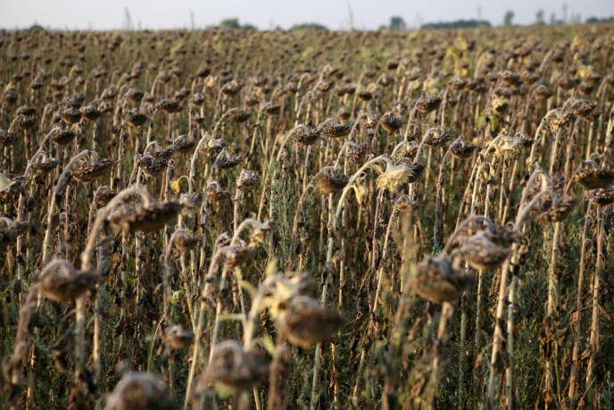 Tournesols victimes de la sécheresse, en Bulgarie.