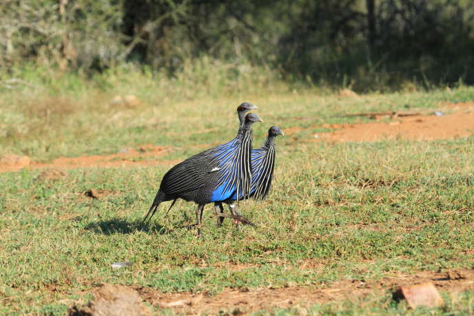 Vulturine guinea fowl (Acryllium vulturinum), Mpala (Kenya).