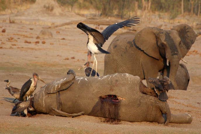 Un éléphant mort dans le parc de Hwange, dans l'ouest du Zimbabwe, en octobre 2019.