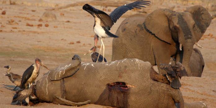 Au Zimbabwe, des centaines d'animaux sauvages déménagés à cause de la sécheresse