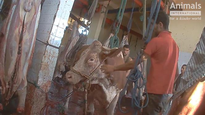 Une vache de réforme, issue d'un élevage de l'Ain, identifiée grâce à sa boucle, filmée dans un abattoir marocain en 2017.