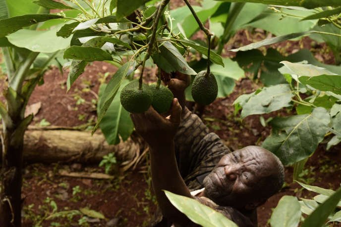 Dans une plantation du comté de Murang'a.