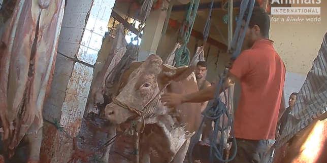 Des animaux exportés par l'Union européenne victimes de mauvais traitements