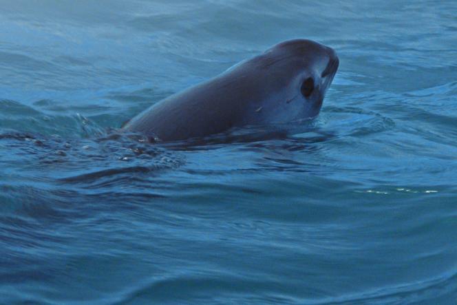 Le marsouin du Pacifique (ou vaquita), le plus petit et le plus insaisissable des cétacés, est menacé d'extinction.