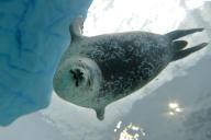 Un phoque annélé dans l'aquarium d'Osaka (Japon).