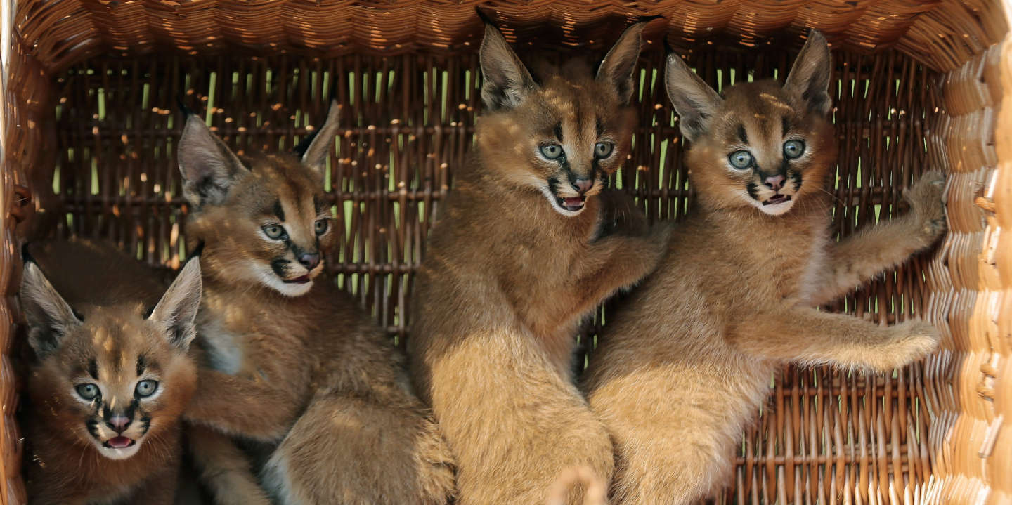 Four caracal cubs sit in a basket as they are presented to media for the first time at the Animal Park zoo in Berlin, Friday, Aug. 30, 2013. The caracals, also known as desert lynxes, were born in the zoo on July 21, 2013. (AP Photo/Markus Schreiber)