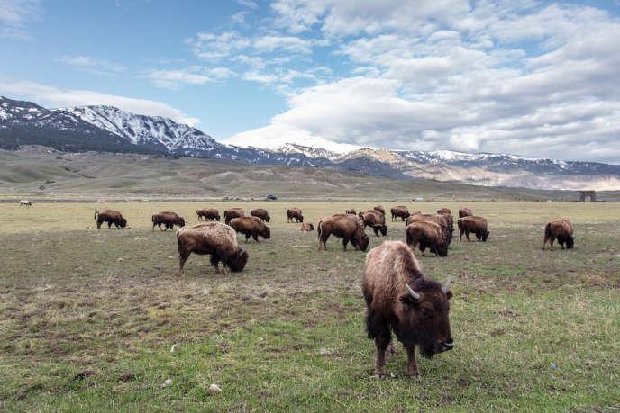 Des bisons dans le parc national de Yellowstone.