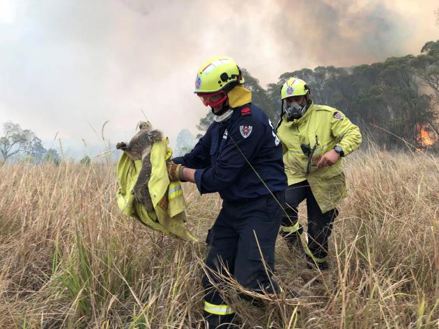 Des pompiers viennent en aide à un koala, pris dans les flammes. D'après l'association North East Forest Alliance plus de 2 000 koalas ont péri dans ces incendies, piégés au sommet de leurs eucalyptus.
