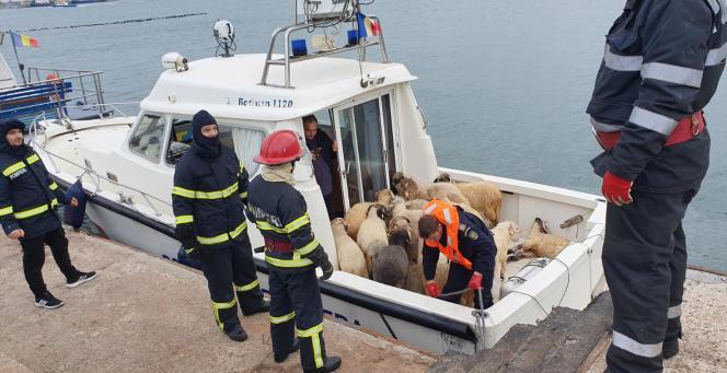 Selonl'Inspectorat pour les situations d'urgence, 32 moutons ont été sauvés, après le chavirage du cargo« Queen Hind», qui transportait 14 600 animaux.