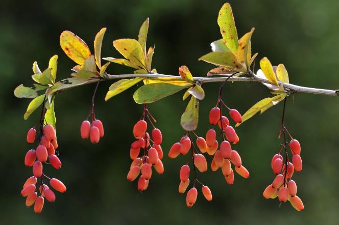 Des baies d'épine-vinette. La berbérine est un alcaloïde présent dans plusieurs végétaux, dont les plantes de genre «berberis». On la trouve dans les baies et les feuilles, mais surtout dans l'écorce et les racines.