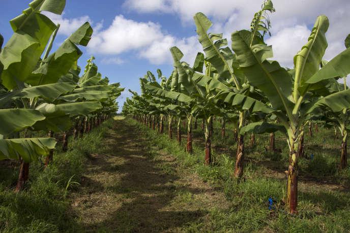 Une plantation de bananes en Guadeloupe.