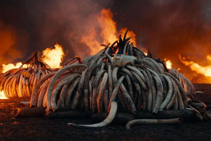 Destruction de tonnes d'ivoire saisies par les autorités kenyanes dans le documentaire deJennifer Baichwal, Edward Burtynsky et Nicholas de Pencier,«Anthropocène, l'époque humaine».