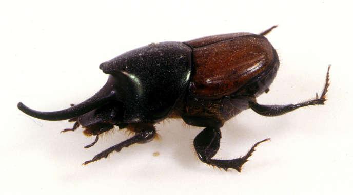 Un scarabée bousier Onthophagus nigriventris.
